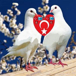 Homing Pigeon Racing Homer Fantail Pigeon Bird Streptopelia - Pigeon PNG