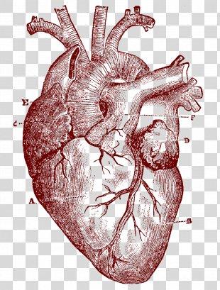 Heart Human Anatomy Human Body Clip Art - Human Heart PNG