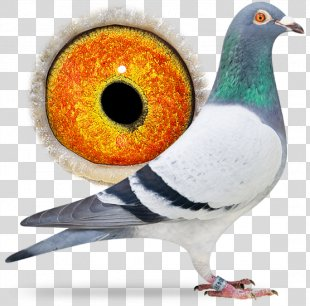 Homing Pigeon Columbinae Bird Pigeon Keeping Pigeon Racing - Bird PNG