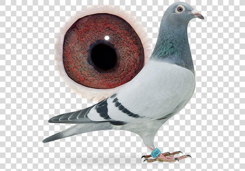 Homing Pigeon Racing Homer Columbidae Fancy Pigeon Beak, Pigeon Dangling Ring PNG, Free Download