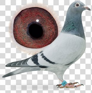 Homing Pigeon Racing Homer Columbidae Fancy Pigeon Beak - Pigeon Dangling Ring PNG