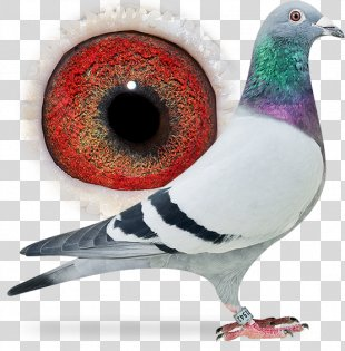 Columbidae Homing Pigeon Pigeon Racing Beak - Pigeon Dangling Ring PNG