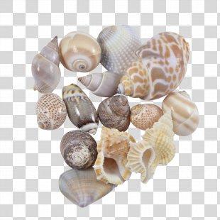 Seashell Cockle Conchology Sea Snail Spiral - Seashell PNG