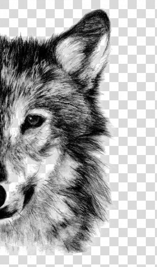 Gray Wolf Drawing Pencil Sketch - Wolf PNG