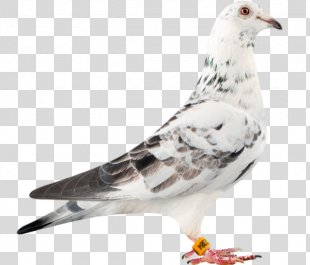 Racing Homer Columbidae Bird Loft Pigeon Racing - Pigeon PNG