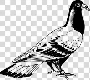 Columbidae Racing Homer Homing Pigeon Bird Clip Art - Bird PNG