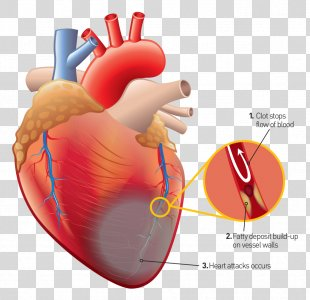 Human Heart Human Anatomy Human Body - Heart PNG
