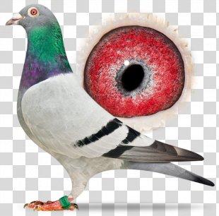 Columbidae Homing Pigeon Racing Homer Pigeon Racing Bird - Bird PNG