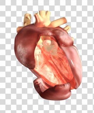 Pig's Ear Organism Human Body Heart - Human Heart PNG