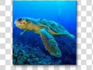Loggerhead Sea Turtle Tortuguero, Costa Rica Sea Turtle Migration - Sea Turtle PNG