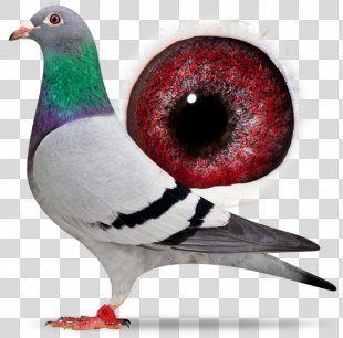 Homing Pigeon Racing Homer Columbidae Bird Beak - Bird PNG