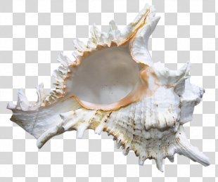 Seashell Shankha Clip Art - Seashell PNG