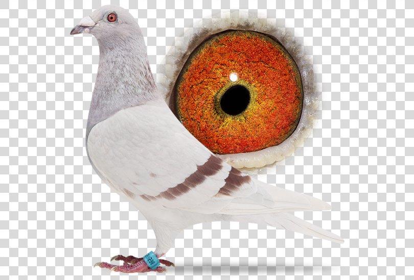 Racing Homer Columbidae Homing Pigeon Bird Beak, Bird PNG, Free Download