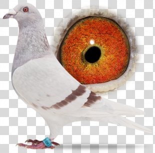 Racing Homer Columbidae Homing Pigeon Bird Beak - Bird PNG