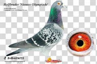Homing Pigeon Racing Homer Columbidae Pigeon Racing Belgium - Racing Pigeon PNG