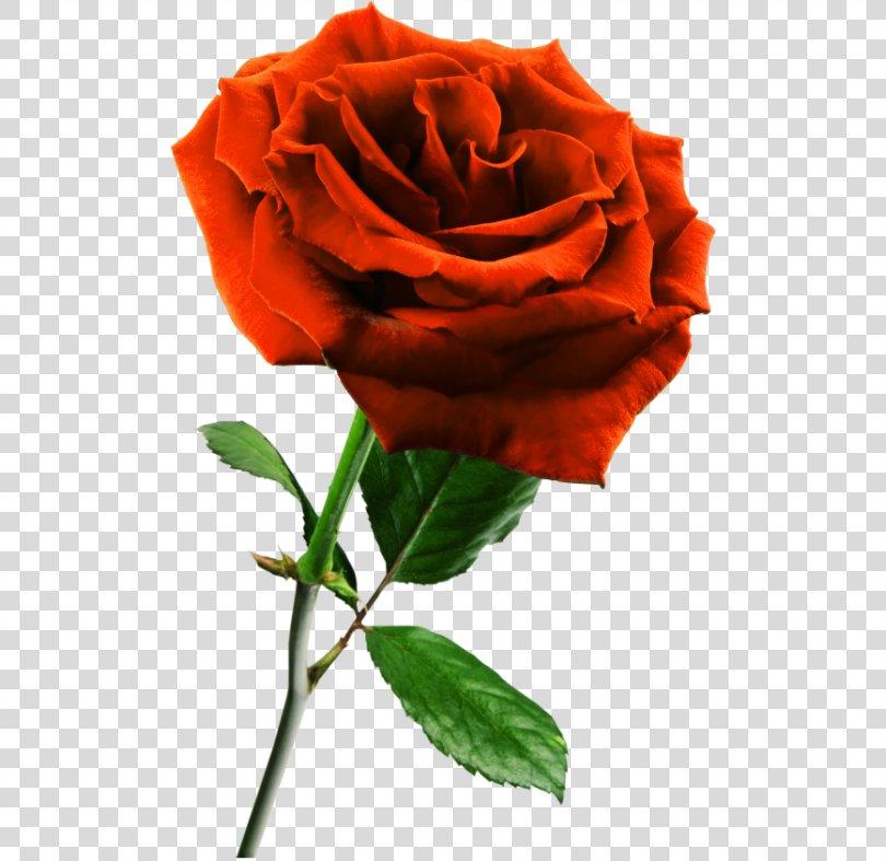 Rose Transparent Background PNG