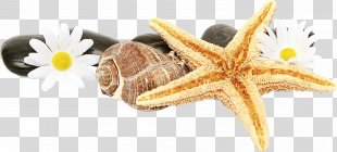 Transparency Starfish Basket Stars Seashell Sand Dollar - Watercolor Painting Brittle Stars PNG