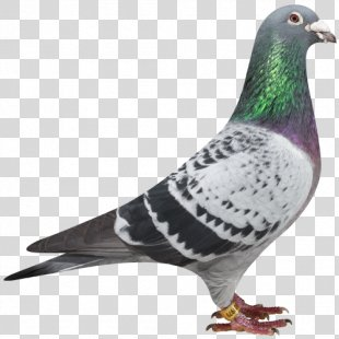Racing Homer Columbidae Homing Pigeon - Racing Pigeon PNG