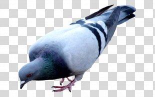 Homing Pigeon Bird Racing Homer Oriental Roller Fantail Pigeon - Bird PNG