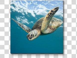 Loggerhead Sea Turtle Sea Turtle Conservancy Green Sea Turtle Olive Ridley Sea Turtle - Sea Turtle PNG