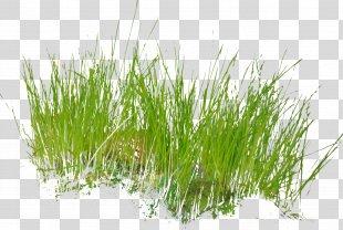 Grass Armeria Maritima Clip Art - Grass PNG