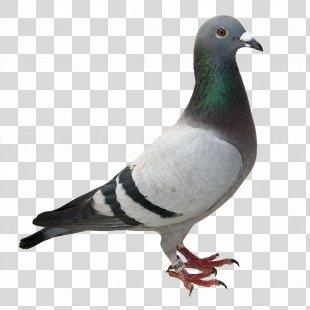 Racing Homer Columbidae Homing Pigeon Bird Desktop Wallpaper - Pigeon PNG