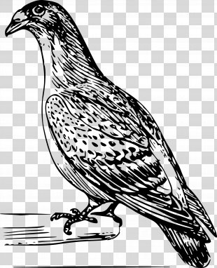 Bird Columbidae Homing Pigeon Drawing - Pigeon PNG