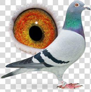 Columbidae Homing Pigeon Rock Dove Pigeon Racing Bird - Bird PNG
