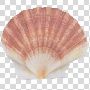 Seashell Cockle Scallop Conchology Oyster - Seashell PNG
