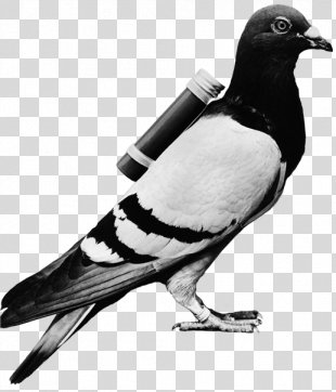 Homing Pigeon English Carrier Pigeon Racing Homer Columbidae Bird - Carrier Pigeon PNG