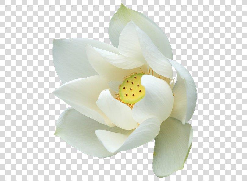 Clip Art, White Lotus Clipart PNG