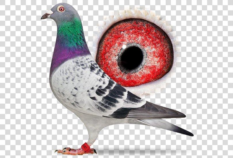 Columbidae Homing Pigeon Racing Homer Pigeon Racing Bird, Racing Pigeon PNG, Free Download