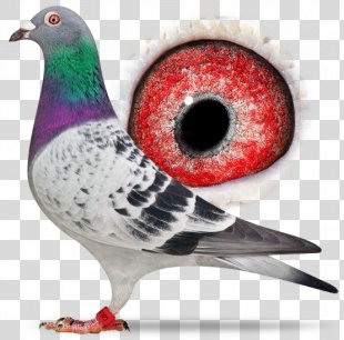 Columbidae Homing Pigeon Racing Homer Pigeon Racing Bird - Racing Pigeon PNG