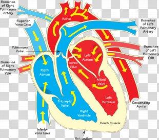 Heart Diagram Vein Clip Art - Human Heart PNG