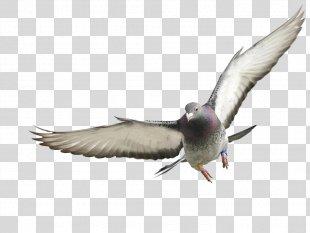 Homing Pigeon Rock Dove Columbidae France Squab - Pigeon PNG