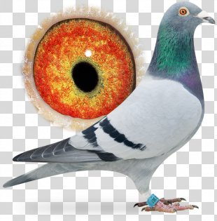 Racing Homer Columbidae Homing Pigeon Bird Pigeon Racing - Pigeon Dangling Ring PNG