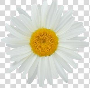 Photography Clip Art - Daisy Clip Art PNG