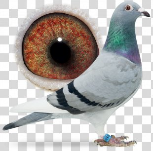 Racing Homer Columbidae Homing Pigeon Pigeon Racing Bird - Bird PNG