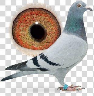 Homing Pigeon Columbidae Bird Pigeon Racing Breed - Pigeon PNG