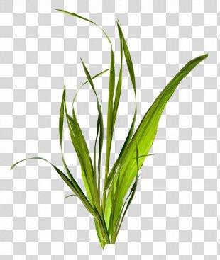 Grass Herbaceous Plant Clip Art - Grass PNG