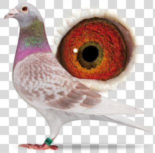 Homing Pigeon Racing Homer Columbidae Fancy Pigeon Beak - Bird PNG