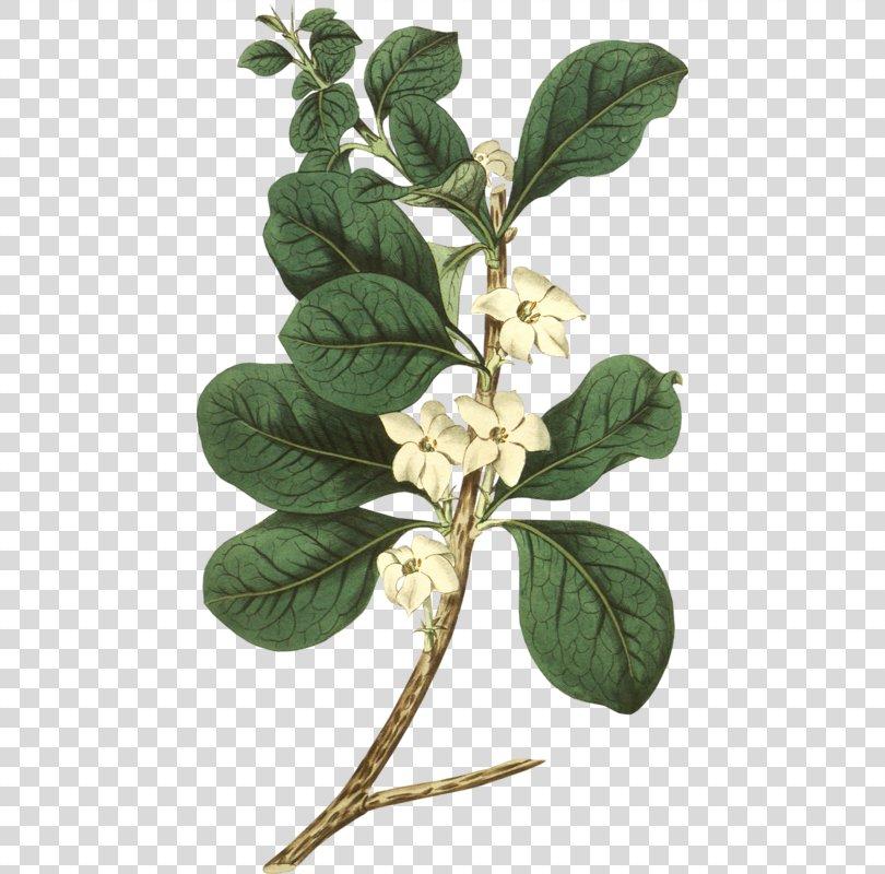Botany Flower PNG, Free Download