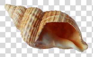 Seashell Angelwhispers Conch - Seashell PNG