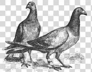 Homing Pigeon Fantail Pigeon Bird Columbidae Indian Fantail - Homing Pigeon PNG