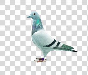 Homing Pigeon Stock Dove Columbidae Download - Pigeon PNG