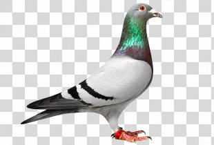 Homing Pigeon Racing Homer Columbidae Bird Pigeon Racing - White Pigeon PNG