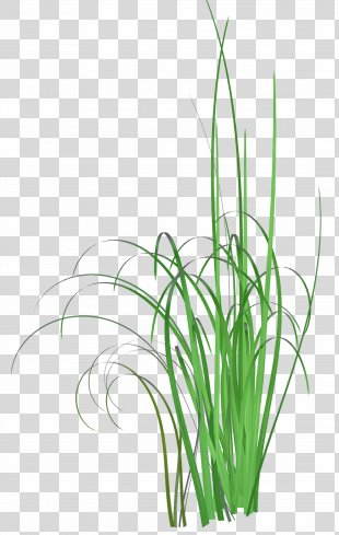 Grass Common Reed Herbaceous Plant Clip Art - Grass PNG