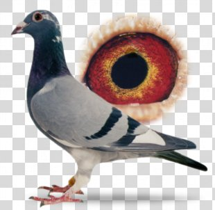 Racing Homer Columbidae Homing Pigeon Pigeon Racing - Racing Pigeon PNG