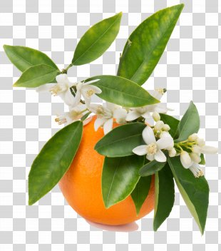 Orange Blossom Orange Juice Orange Flower Water - Orange PNG