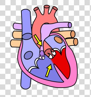 The Heart And Lungs Human Body Anatomy Human Skeleton - Human Heart PNG